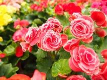 Mooie Begonia Royalty-vrije Stock Fotografie