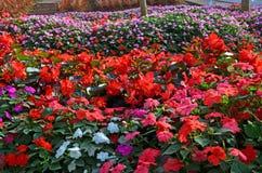 Mooie begonia en vincabloemen royalty-vrije stock afbeelding