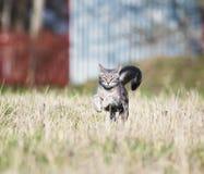 Mooie behendig een tijger-gestreepte kattenpret en snel een hals op weide stock foto's