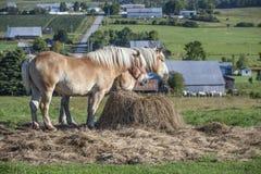 Mooie Belgische paarden die op een baal van hooi voeden Stock Foto's