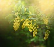Mooie berberisbloemen met bokeh en zachte nadruk Royalty-vrije Stock Fotografie