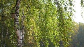 Mooie berk in de herfstbos stock videobeelden