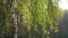 Mooie berk in de herfstbos stock footage