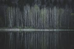 Mooie berkbomen op de kust van het meer Stock Fotografie