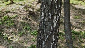 Mooie berkboomstam in zonnig weer stock video