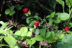 Mooie bessen van decoratieve aardbeien op de struik stock afbeeldingen