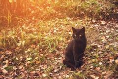 Mooie bevallige zwarte kat met gele ogen die op gele bladeren in de herfst zitten gestemd Stock Foto