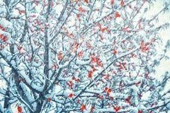 Mooie bevroren overzees-wegedoorn boomtak in sneeuwonweer De achtergrond van de aardwinter Zachte nadruk Gestemde pastelkleur De  stock fotografie