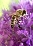 Mooie bij en mooie purpere bloemen royalty-vrije stock foto