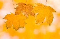 Mooie bladeren in de herfst Stock Afbeelding