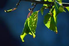 Mooie bladeren van abrikoos Heldere zon en donkerblauwe achtergrond stock foto's