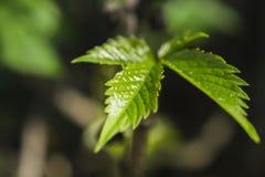 Mooie bladeren van groene struik Stock Foto