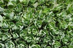 Mooie bladeren zoals kleine rozen als achtergrond groen Stock Foto's