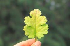 Mooie bladholding op één hand stock foto's