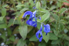 Mooie blauwe bloem royalty-vrije stock foto