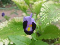 Mooie Blauwe Bloemen in Sri Lanka royalty-vrije stock afbeeldingen