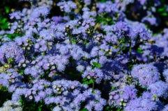 Mooie blauwe bloemenageratum in de tuin royalty-vrije stock foto