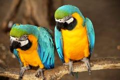 Mooie blauwe en gele ara Royalty-vrije Stock Afbeelding