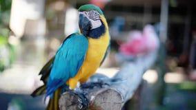 Mooie blauwe en gele Arapapegaai in een dierentuin stock footage
