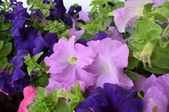 Mooie blauwe en purpere bloemen Royalty-vrije Stock Foto