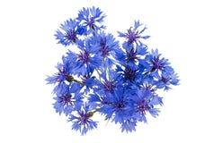 Mooie blauwe geïsoleerde korenbloem royalty-vrije stock fotografie