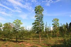 mooie blauwe hemel en groen de meningsmilieu van de mahonieboom Stock Foto