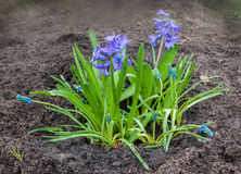 Mooie blauwe hyacint met muscari Armeniër op een bloembed Royalty-vrije Stock Fotografie