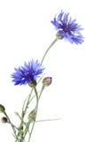 Mooie blauwe korenbloem royalty-vrije stock afbeelding