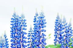 Mooie Blauwe Lupines Bluebonnets met Witte Achtergrond Stock Afbeelding