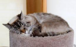 Mooie blauwe ogen vrouwelijke kat, hypoallergenic kat Dier dat huisdier kan zijn door mensen dat voor katten allergisch is royalty-vrije stock afbeeldingen