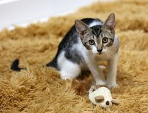Mooie blauwe ogen vrouwelijke kat, hypoallergenic kat Dier dat huisdier kan zijn door mensen dat voor katten allergisch is royalty-vrije stock foto
