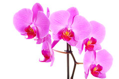 Mooie blauwe orchidee Royalty-vrije Stock Afbeelding