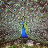 Mooie Blauwe Pauw die Zijn Veren uitspreiden Stock Foto