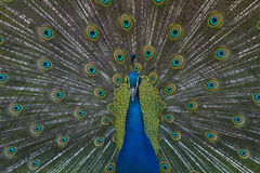 Mooie blauwe pauw grote vogel Royalty-vrije Stock Foto's