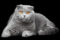 Blauwe Schotse vouwenkat op zwarte achtergrond Royalty-vrije Stock Fotografie