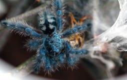 Mooie blauwe spin tarantula wijfje Stock Foto's