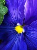 Mooie blauwe viooltjes in Prak in de zomer Stock Afbeeldingen