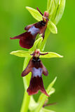 Mooie bloei in de weide De wilde orchidee van Nice Vliegorchidee, Ophrys-insectifera, die Europese aardse wilde orchidee bloeien, royalty-vrije stock afbeelding