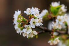 Mooie bloei van de kers van fruitbomen Stock Foto
