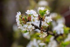 Mooie bloei van de kers van fruitbomen Stock Fotografie