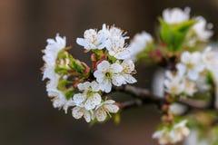 Mooie bloei van de kers van fruitbomen Royalty-vrije Stock Foto