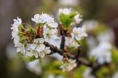 Mooie bloei van de kers van fruitbomen Royalty-vrije Stock Afbeeldingen