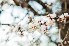 Mooie bloeiende abrikozenboom in de lentetijd royalty-vrije stock foto's