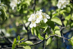 Mooie bloeiende appelboom in de tuin Stock Foto