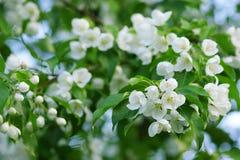 Mooie bloeiende Apple-bomen in de lente stock foto