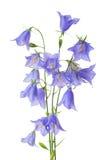 Mooie bloeiende boeket blauwe die klokbloem op witte bedelaars wordt geïsoleerd Stock Foto's