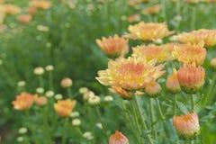 Mooie bloeiende Chrysantenbloemen Stock Afbeelding
