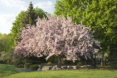 Mooie bloeiende crabapple boom in Minnesota Stock Foto