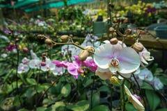 Mooie bloeiende en ontluikende witte purpere Phalaenopsis-orchideebloem in orchideetuin Stock Fotografie