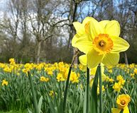 Mooie bloeiende gele narcis op een gele narcisgebied stock fotografie